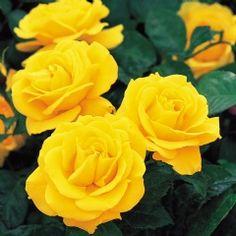 Golden Wedding - David Austin Roses