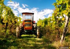Volunteer on an organic vineyard in Tuscany - free, fun & an experience you'll never forget!