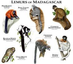 Lemurs by rogerdhall on DeviantArt