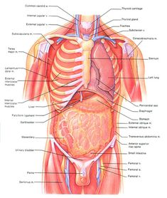 Map Of Human Organs Map Of Human Organ System. Map Of Human Organs Having Map Of Internal Organs To Understand Human Body Anatomy Of. Map Of Human Organs Female Human Body Diagram Of Organs See More About Female Human. Human Anatomy For Artists, Human Anatomy Drawing, Human Body Anatomy, Muscle Anatomy, Human Organ Diagram, Body Organs Diagram, Human Digestive System, Human Body Systems, Human Body Organs