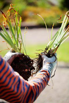 Huolla perennat | Kotivinkki Garden, Plants, Ideas, Garten, Lawn And Garden, Gardens, Plant, Gardening, Thoughts