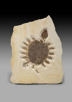 Eocene Fossil Turtle Trionyx sp. Eocene Green River Formation, Lincoln County, Wyoming
