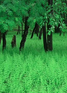 Fern Forest, Tafhanik, State Park, New York. ** I love the freshness this photo captures. Go Green, Green Colors, Lush Green, Mother Earth, Mother Nature, Fern Forest, Flora, World Of Color, My Favorite Color