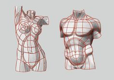 major planes contours of the male and female torso