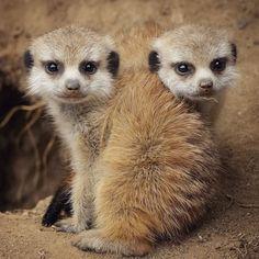 Mondays always need more #meerkat. #meerkatmonday Pic by Deric Wagner