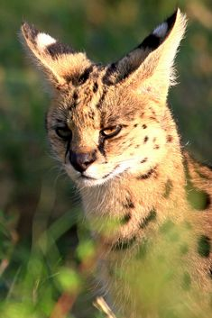 A wild cat found all across sub-Saharan Africa, the serval is an expert hunter and a symbol of wild Kittens Cutest, Cats And Kittens, Cute Cats, Ragdoll Kittens, Tabby Cats, Funny Kittens, White Kittens, Beautiful Cat Breeds, Beautiful Cats