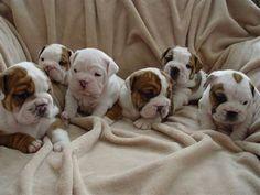 Cães e filhotes by Daniel Alho                 baby bulldogs