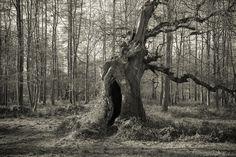 Toned black and white photo of old oak tree in woodland, Blenheim Palace, Oxfordshire, England UK Sacred Groves, Blenheim Palace, Old Oak Tree, England Uk, Woodland, Black And White, Plants, Photography, Photograph