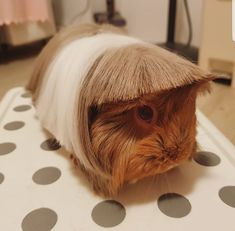 What Is The Best Guinea Pig Bedding? Photo by picto:graphic Guinea pig owners routinely utilize wood or paper types of shavings as the bedding for their pets. Funny Animal Jokes, Cute Funny Animals, Animal Memes, Pet Guinea Pigs, Pet Pigs, Guinea Pig Funny, Baby Animals Pictures, Funny Animal Pictures, Guniea Pig