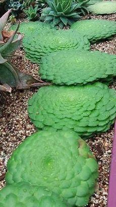 Succulent Landscaping, Succulent Gardening, Cacti And Succulents, Planting Succulents, Garden Plants, Garden Landscaping, Planting Flowers, Modern Landscaping, Landscaping Ideas