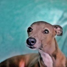 Tina Italian Greyhounds