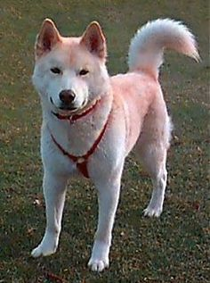 The Ainu Dog is a Japanese Spitz breed rarely seen outside the country of Japan. The dog was named after the Ainu tribe. Origin is unknown. They arrived in Japan over years ago Unique Dog Breeds, Rare Dog Breeds, Japanese Spitz, Japanese Dogs, Hokkaido Dog, Spitz Breeds, Huge Dogs, Dog Information, Purebred Dogs