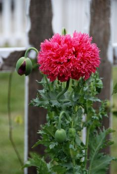 https://flic.kr/p/7HfQQN | Papaver 'Antique Rose Peony'