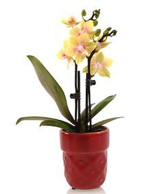 How do I care for my Mini Orchid? Read on for Mini Orchid Care tips.