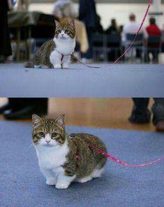 Munchkin é uma raça de gatos anões com patas extremamente curtas.