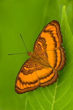 ~~Pandita sinope sinope (The Colonel Butterfly) by BlueSteel~~