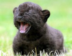 Yawn!                 A 3-week-old black panther cub relaxes at the Bad Pyrmont Zoo in Germany