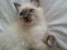 stunning blue point birman Birman Cat, Chiwawa, Blue Point, Four Legged, Fur, Pets, Animals, Honey, Google