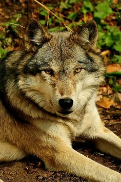 Wolf.   (KO) Such interesting animals! It's rare to see one in the wild. They are evasive and shy unless hunting prey. So beautiful.