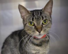 Dina 35115309 is an adoptable Domestic Short Hair searching for a forever family near Mount Holly, NJ. Use Petfinder to find adoptable pets in your area.