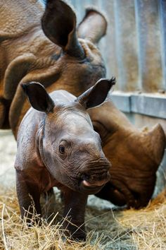 Looking over her child Saathi, an Indian rhinoceros, stands next to her female baby, Salyane, who was born on Nov. 7, 2013 at the ZooParc of Beauval. Salyane is the first baby Indian rhino at the ZooParc of Beauval.