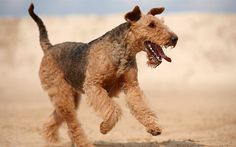 http://www.dogs-magazin.de/img/standard/rassen/airedale-terrier-4.jpg