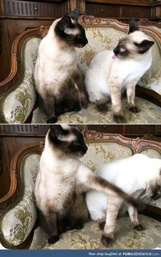 I love cats! Cute Funny Animals, Funny Animal Pictures, Cute Cats, Funny Cats, I Love Cats, Crazy Cats, Siamese Cats, Cats And Kittens, Beautiful Cats