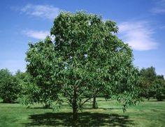 Mature American Chestnut tree