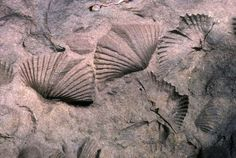 Brachiopods #fossilcollecting