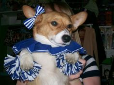 Too cute!  Corgi Cheerleader, although she doesn't look too cheerful.