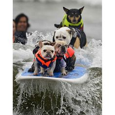 Huntington Beach Surf Dog competition in California - Telegraph - watch the second dog's eyes