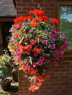 geraniums planted with cascading petunias and more -- links to some good tips for creating and caring for your containers