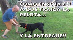 En este tutorial aprenderás como entrenar y adiestrar a tu perro para que te traiga y entregue la pelota en la mano cuando se la lanzas. Publico un nuevo víd...