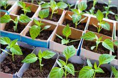 Epsom Salt use in gardening