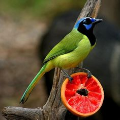 Green Jay Bird ✿⊱╮                                                                                                                                                                                 More