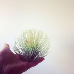 Air plant. from Mr Kitly