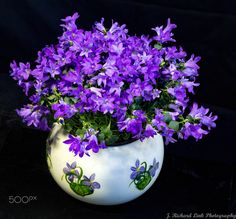"""Campanula 'Get Mee' - Campanula is one of several genera in the family Campanulaceae with the common name bellflower. It takes both its common and its scientific name from its bell-shaped flowers—campanula is Latin for """"little bell"""".  Rocket Farms is the largest grower of campanula in the U.S. Our Get Mee® campanula is the only floral upright potted plant variety on the market."""