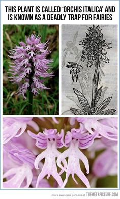 Orchis Italica, obviously only boy fairies are stupid enough to fall for it
