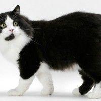 #dogalize Cat breeds: Cymric cat or Manx Longhair cat #dogs #cats #pets http://www.buzzblend.com