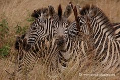 Zebra in the Grass, Kruger