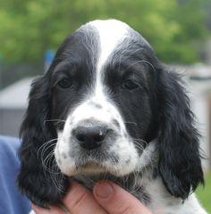 Springer Spaniel Puppy - Stormy