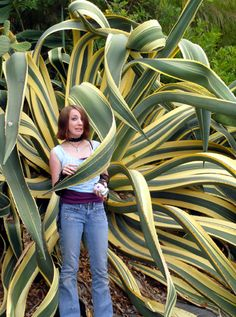 Our agaves could grow to be like this?