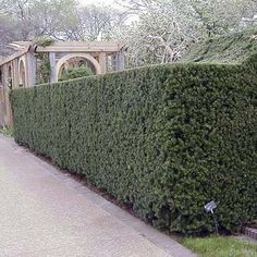 Evergreen Privacy Screen ---   Hicksii Yew (Taxus x media 'Hicksii');   Foliage: The soft needles form a dense, dark green barrier, but can brown with exposure to winter winds.  Dimensions at Maturity: Grows up to 20 feet high and 12 feet wide in zones 4 to 7.