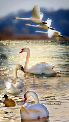 Swan image photo montage 4 images blend to create a single art image Swan Pictures, Bird Pictures, Beautiful Nature Pictures, Pretty Pictures, Beautiful Swan, Beautiful Birds, Beautiful Sea Creatures, Cute Funny Animals, Photomontage