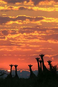 Sunset Dusk Animal Journey Giraffe Photos Image Giraffes