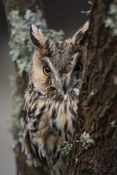 Long-eared Owl (Asio otus, previously Strix otus) by linneaphoto Beautiful Owl, Animals Beautiful, Cute Animals, Owl Bird, Pet Birds, Nocturnal Birds, Long Eared Owl, Owl Photos, Mundo Animal