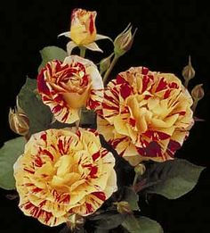 George Burns™ Floribunda - Yellow, red, pink and cream striped Height / Habit: Medium-low, rounded Bloom / Size: Large, double and decorative Petal count: 30 to 35 Parentage: Calico x Roller Coaster Fragrance: Strong fruit and citrus