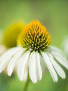 echinacea Works great with golden seal for immunity and colds.