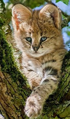 Beautiful ~ Serval Kitten