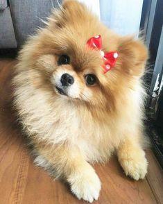 Everything About Cute Pomeranian Puppy Beautiful Dogs, Animals Beautiful, Cute Baby Animals, Funny Animals, Background Grey, Cute Pomeranian, Pomeranian Haircut, Cute Dogs Breeds, Puppy Breeds